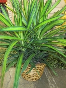 $65.00 Medium Dracaena In Wicker Basket