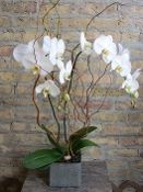 Double Orchid Plant