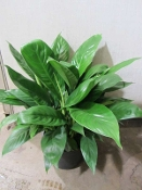 Spathiphyllum~Peace Lily In 6 In Ceramic Container